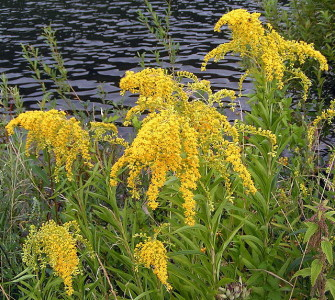 While there are some friendly varieties, many species of Goldenrod can be harmful to your yard and garden.