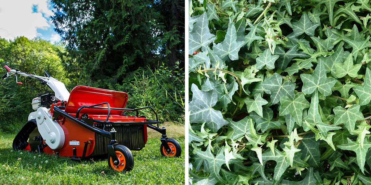 English Ivy Dangers and Ivy Removal - Orec America