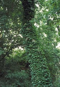 English Ivy can be pretty, but it can also be pretty deadly to your plants and trees.